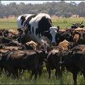 A világ legnagyobb marhája.