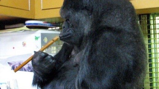 kokorecorder-gorilla_wide-dc770b19d0cae4c2dc5f1a7fbc88f05ff23d56c5-s800-c85.jpg