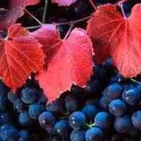Hol a magyar szőlő?