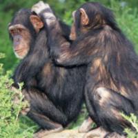 A csimpánzok egyérteműen az érett nőstényekhez vonzódnak