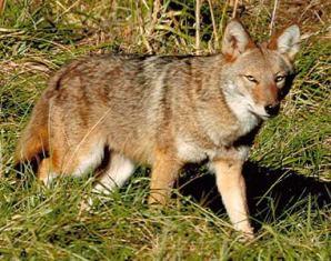 coyote_eastern_380.jpg