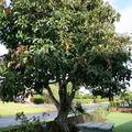 Avokádó fa nevelése magról - 1. rész