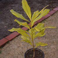 Magnolia grandiflora-örökzöld liliomfa