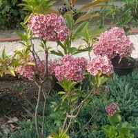 Calmia latifolia-hegyi babér