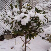 Hólepte Magnolia grandiflóra