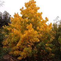 Aranysárga színű lombozat