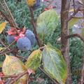 Érő gyümölcsök és az őszi szinei.
