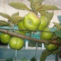 Formálodó gyümölcsök