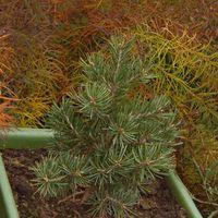 Bonsaiként nevelt,Pinus Edulis-diófenyő