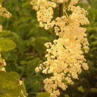 Lenyugvó nap fényében tündöklő illatos virágfürt