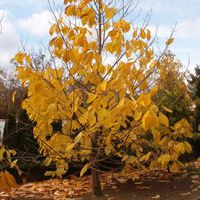 Lassan lehullanak az aranyszínű levelek