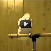 Táncoló papagáj!!! Ezt látni kell