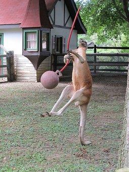 kangaroo-1975177_340.jpg
