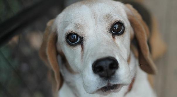 beagle-3756898_640.jpg