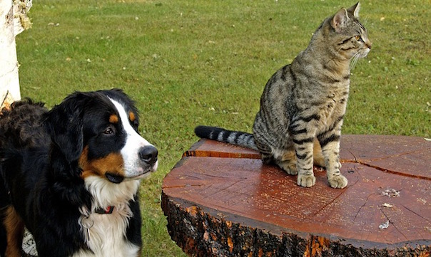 bernese-mountain-dog-111878_640.jpg