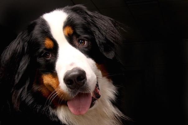 bernese-mountain-dog-642013_640.jpg
