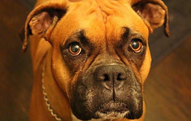 boxer-713341_640.jpg