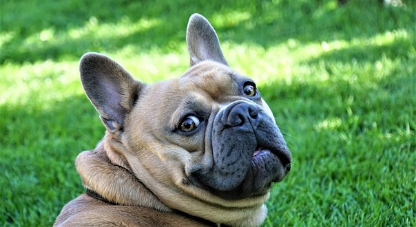 french-bulldog-4278114_640.jpg