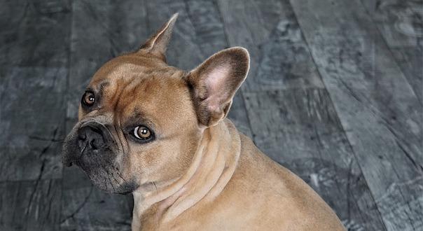 french-bulldog-4294651_640.jpg