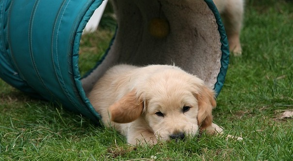 golden-retriever-puppy-2706680_640.jpg