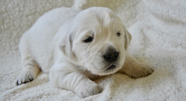golden-retriever-puppy-3783509_640.jpg