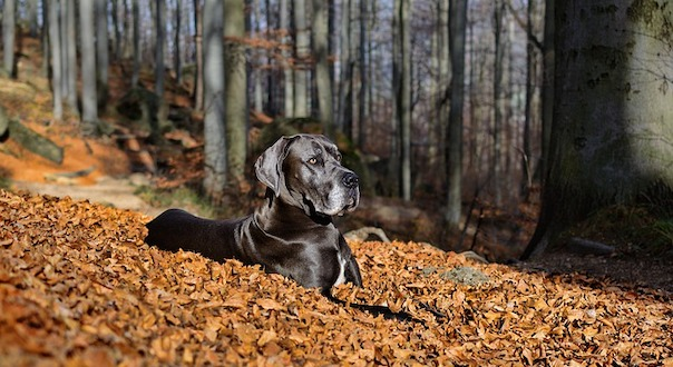 great-dane-4575323_640.jpg