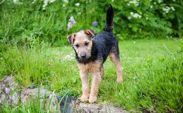 lakeland-terrier-908689_640.jpg