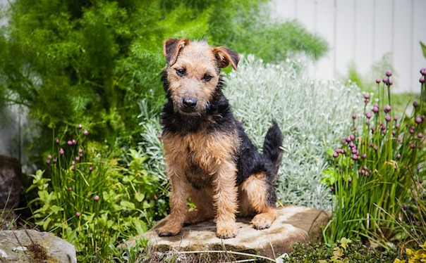lakeland-terrier-908693_640.jpg