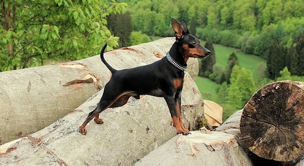 miniature-pinscher-3516332_640.jpg