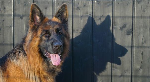 schafer-dog-3956939_640.jpg