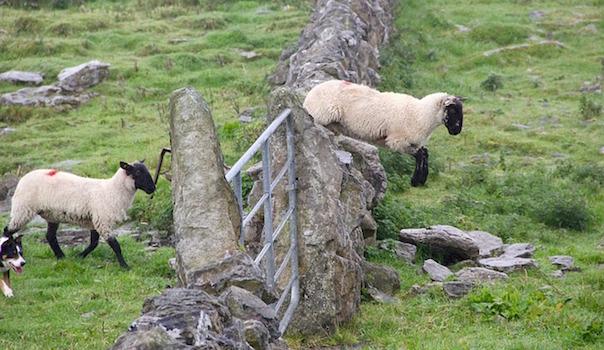 sheep-981881_640.jpg