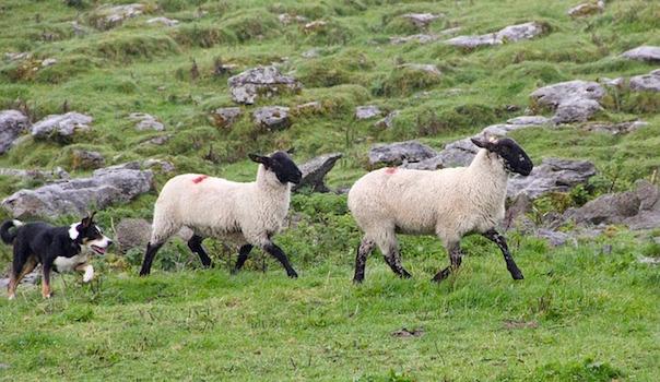 sheepdog-981880_640_1.jpg