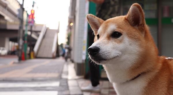 shiba-inu-3600225_640.jpg