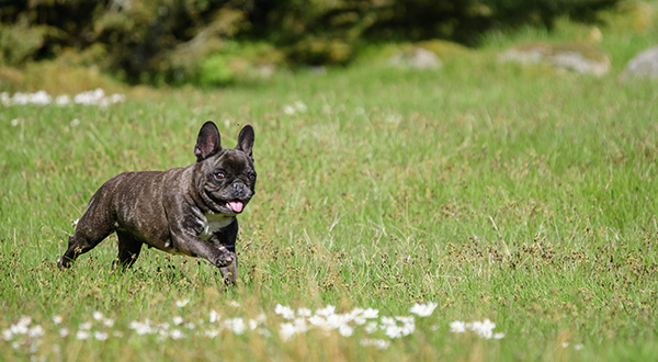 the-french-bulldog-3947712_1920.jpg