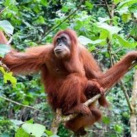 Az orangután is csak ember
