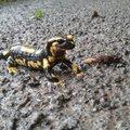 A foltos szalamandra