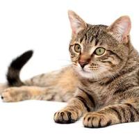 Miért és hogyan dorombol a macska?