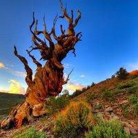 Valószínű, hogy a világ legidőseb fái: Bristlecone fenyők