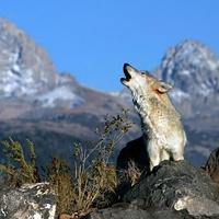 vers... - Üvölts a farkasokkal