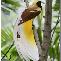 A paradicsommadár-félék