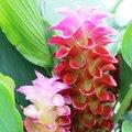 A gyömbérnek és a kurkumának is gyönyörű virága van