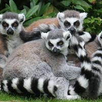 Madagaszkári lemurok
