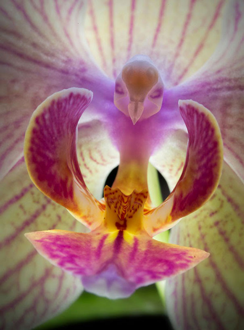 Moth-Orchid-Phalaenopsis-17-Flowers-That-Look-Like-Something-Else2.jpg