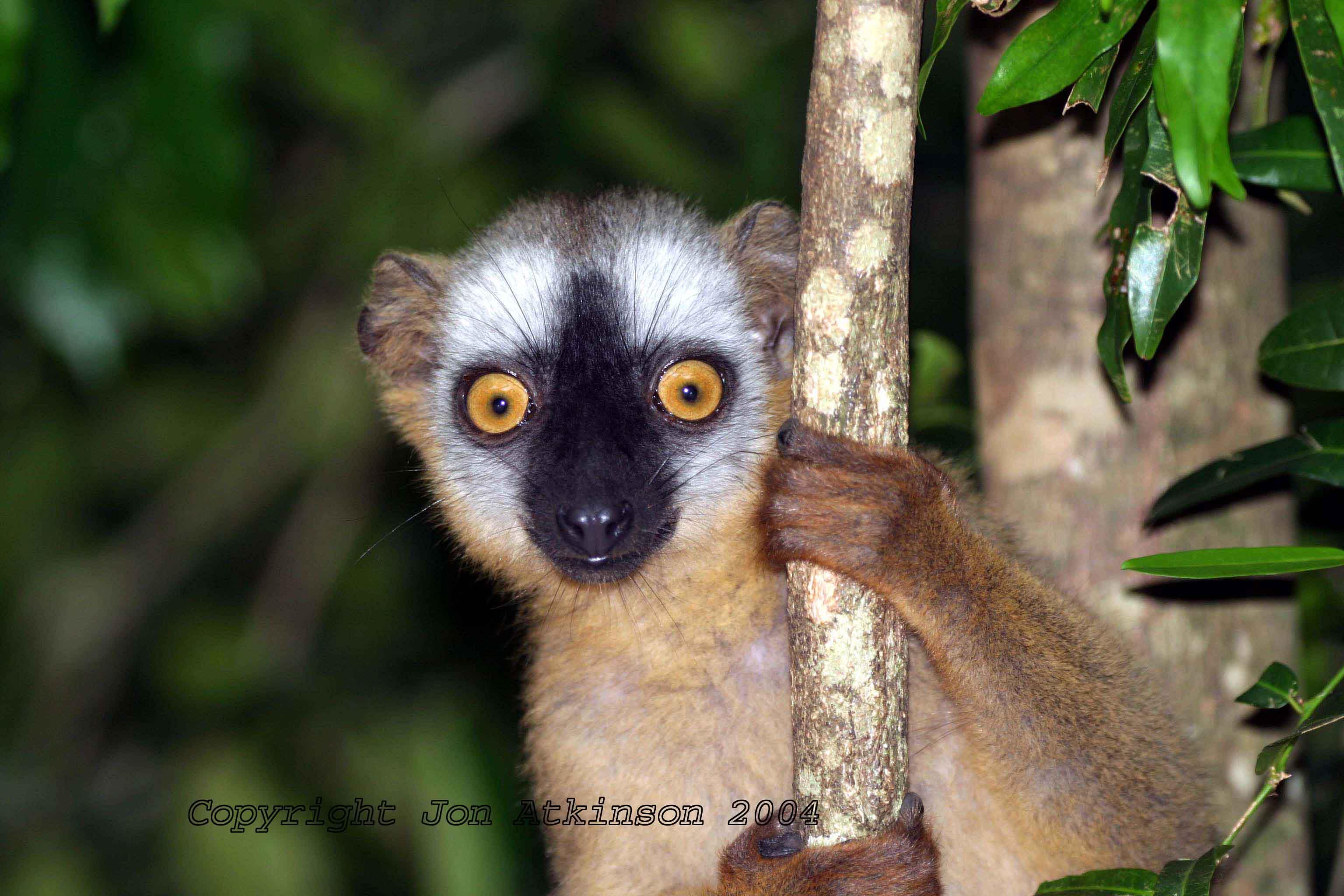 la_red_fronted_brown_lemur.jpg