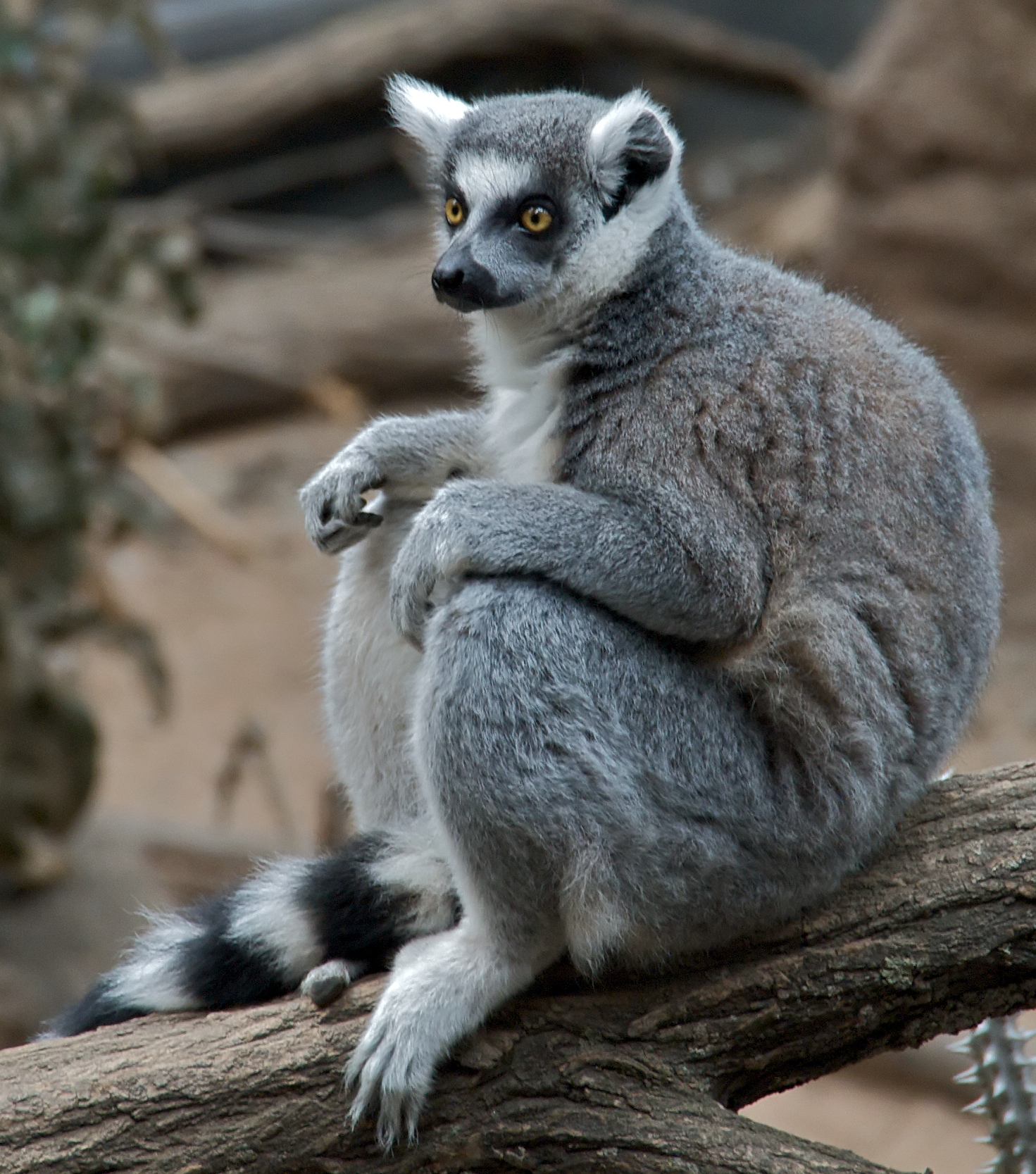 ring_tailed_lemur_lemur_catta_at_bronx_zoo_1_cropped.jpg