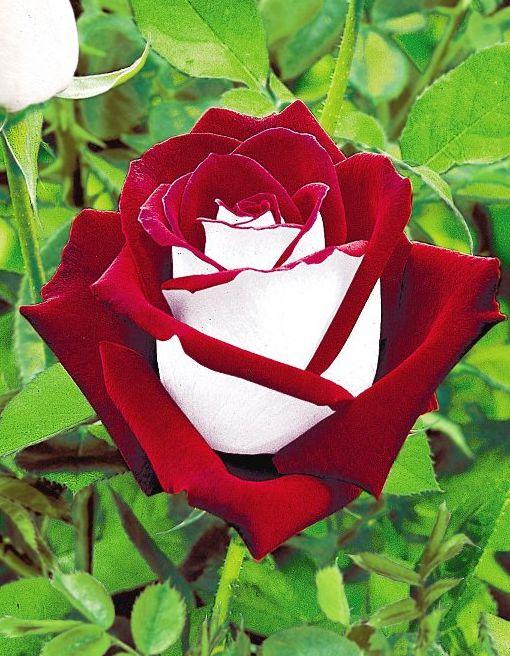 rosa-osiria-de-una-floracion3.jpg