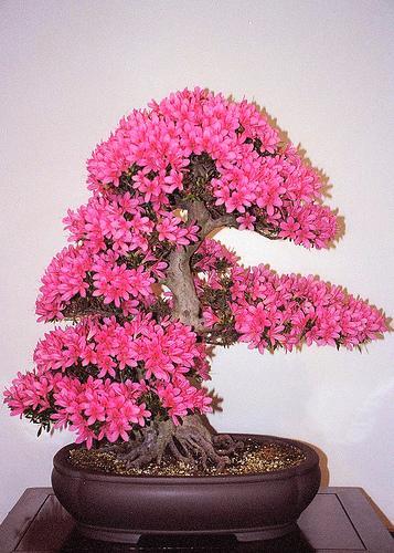 11.Virágzó azálea.jpg