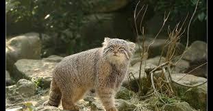 Pallas Cat - Otocolobus manul - манул - Home | Facebook