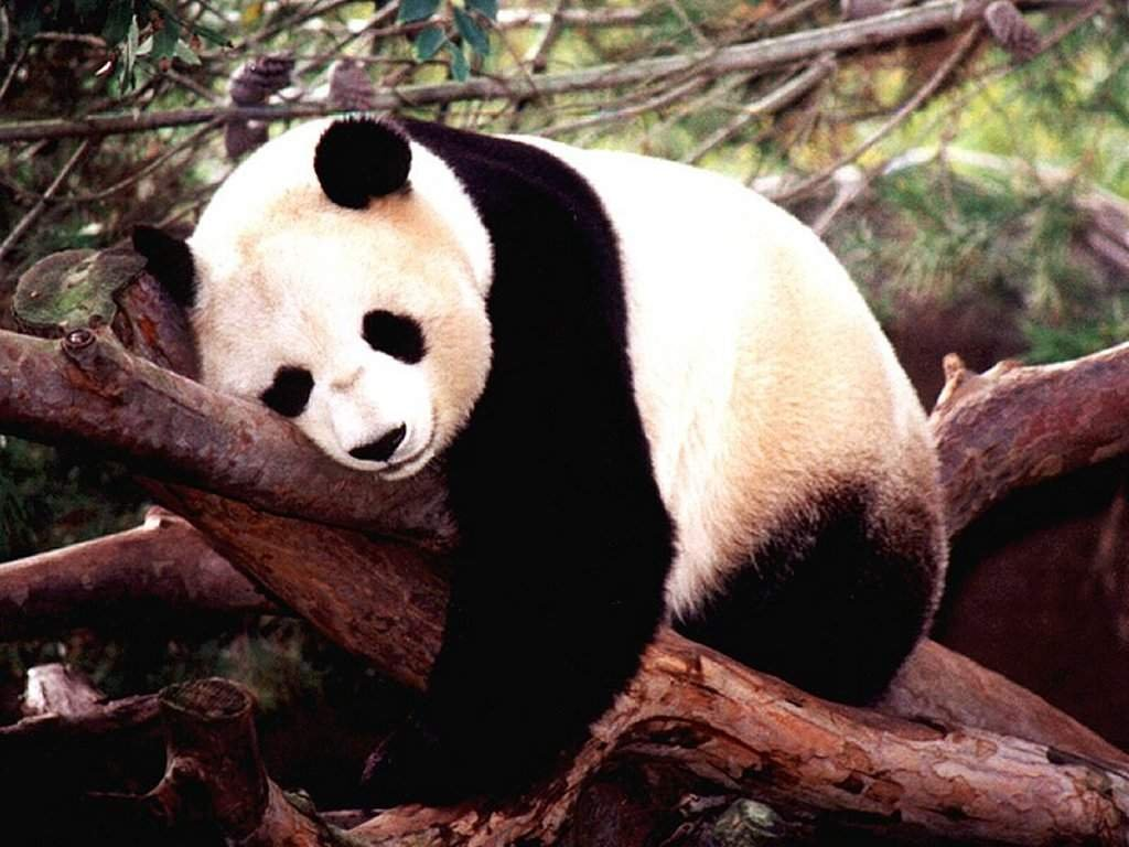 chengdu panda rezervtum.jpg