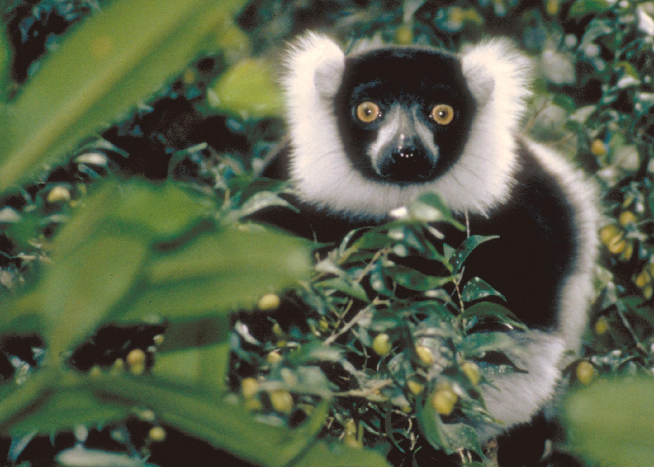 mfg-ruffed-lemur.jpg